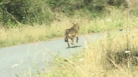El lobo corrió un rato delante del coche hasta perderse por la pista que conduce a Vilar