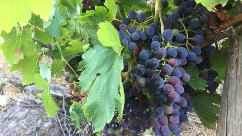 El cambio de color de la uva que marca la cuenta atrás para la vendimia está muy avanzado