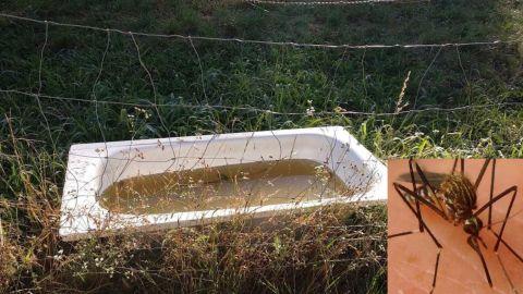 El «Aedes Japonicus», en el recuadro, está asentado en Asturias, en donde ha sido visto sobre todo en bañeras recicladas para el ganado como la de la imagen.