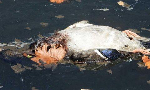 Pato muerto en el estuario de Avilés