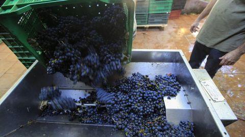 Entrada de uva en una bodega de la denominación de origen Ribeira Sacra
