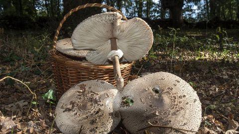 El programa comprende una excursión micológica en Pantón. En la imagen, ejemplares de  Macrolepiota procera , una popular especie comestible