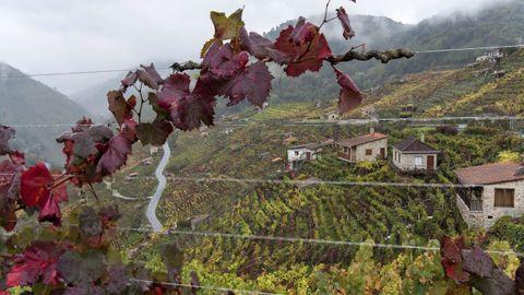 Paisaje otoñal en los viñedos de la parroquia de San Fiz, en el municipio de Chantada