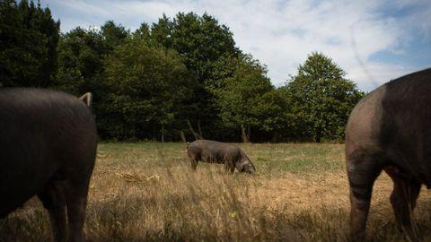 Los porcos celtas, como los de la foto, se crían al aire libre en terrenos amplios, pero vallados