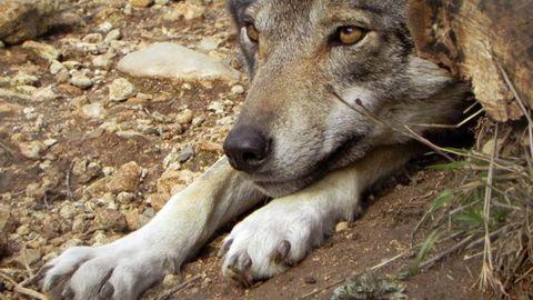 Los mastines son uno de los mejores recursos para prevenir los ataques del lobo