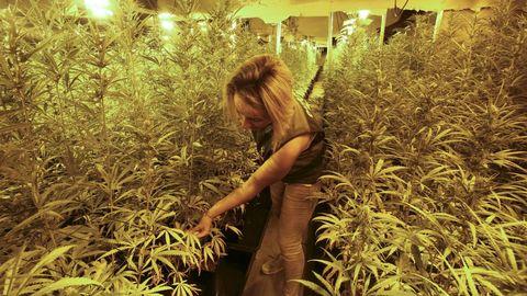 Macroplantación de marihuana en un polígono industrial de As Somozas