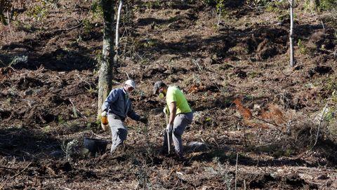 Plantación de olivos en el monte de A Tomba, en Campañó