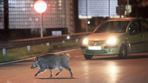 Un jabalí se pasea por una rotonda en la periferia urbana de Lugo