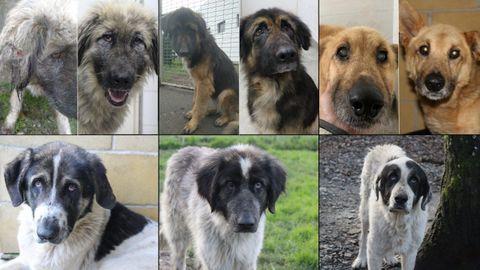 De izquierda a derecha, seis de los ocho perros de Guitiriz: Dama, Lulú, Coyote, Lali, Trus y Ris.