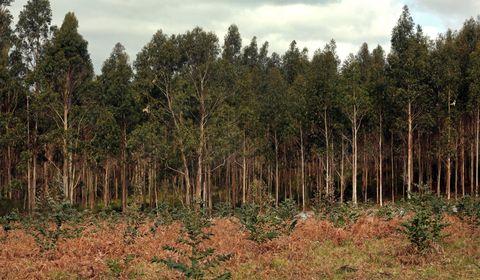 El eucalipto está presente en numerosos municipios de Galicia