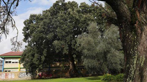 Este alcornoque es uno de los árboles más antiguos de la capital ourensana