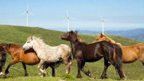 La presencia de ganado caballar de monte es un rasgo característico de O Xistral