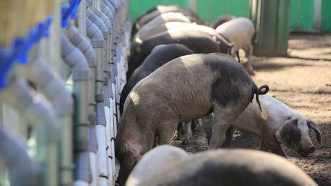 Lugo es la provincia con más criadores de porco celta