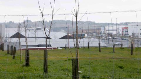 Los castaños crecen en una superficie de 3,6 hectáreas, repartida en tres fincas