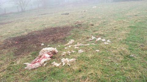 Ataque de lobos en Grandas de Salime