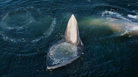 Una de las ballenas de Edén abriendo la boca con cientos de peces que saltaron dentro presa del pánico