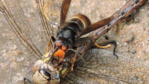 Velutina devorando a una libélula