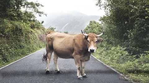 Una vaca en Besullo