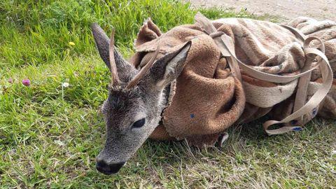 Protección Civil de Ribadeo protegió al corzo con una manta tras rescatarlo del mar