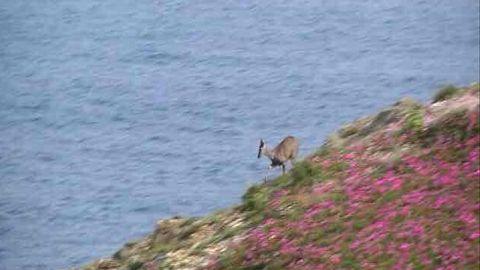 El corzo, regresando al mar por el acantilado