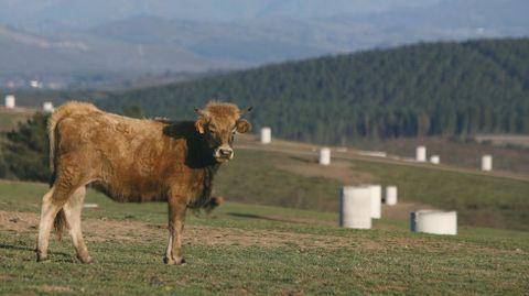 Una vaca pasta entre los soportes para los paneles solares del fallido huerto solar