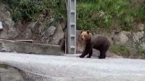 Imagen de archivo de un oso pardo en Cangas del Narcea