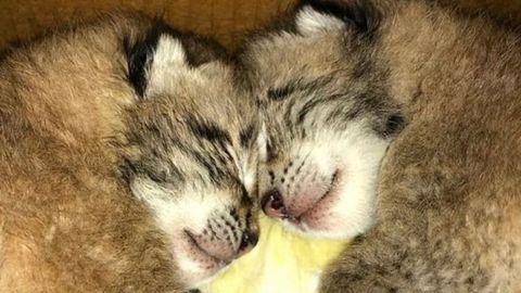 Dos de las crías de lince nacidas en Cangas del Narcea
