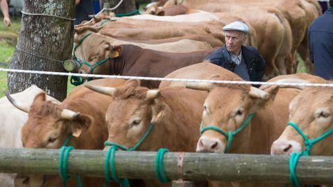 Municipios como Láncara destacan por su ganadería de carne, presente en una jornada anual de feria y de fiesta