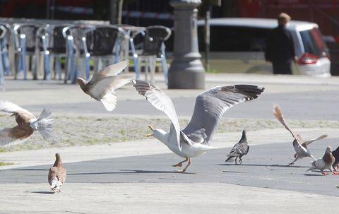 Unha gaivota pretende conquistar a Praza de Amboage. Este espazo é tradicionalmente ocupado por palomas. 08/05/2021