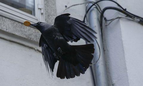 Un corvo fuxe co seu prezado botín conseguido nas terrazas da Raiña, en Santiago de Compostela. 16/05/2021