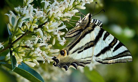 Precioso exemplar de bolboreta confirmando a primavera a veira do río Miño en Tui. 19/05/2021
