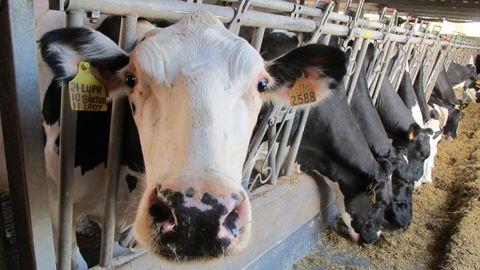 Cada vaca de la comarca produce de media unos 9.500 litros de leche al año