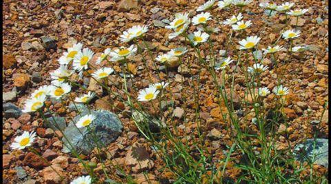 «Leucanthemum gallaecicum». Planta exclusiva en esta zona de Galicia