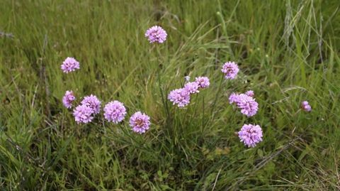 «Armeria merinoi». Especie endémica que solo está en la sierra de O Careón.