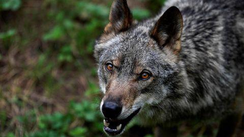 El lobo Aullador en el recinto de la Casa del Lobo en Asturias