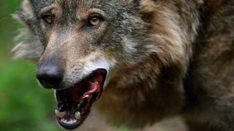El lobo Belmon de la Casa del Lobo en Belmonte de Miranda