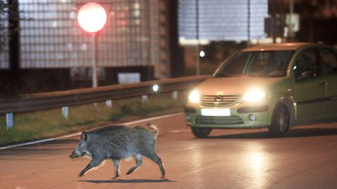Un jabalí cruza la carretera en una rotonda de Lugo.