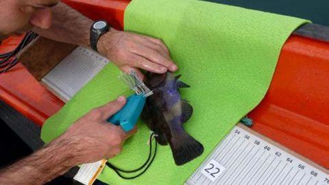 Miembro del Instituto de Investigaciones Marinas marcando una maragota
