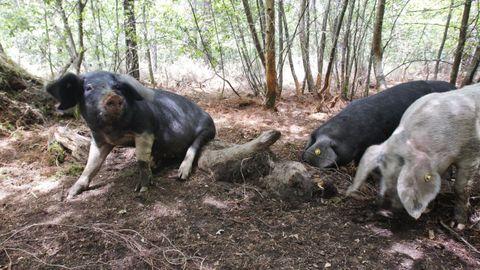 Ejemplares de porco celta en una explotación de Friol