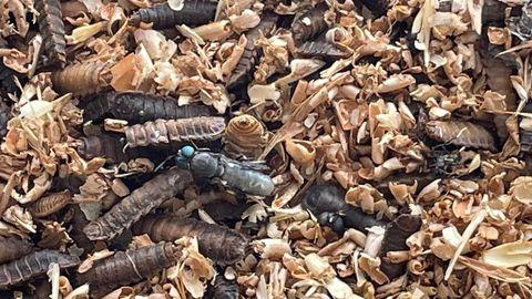 Investigación con insectos desarrollada por la empresa lucense AMSLab