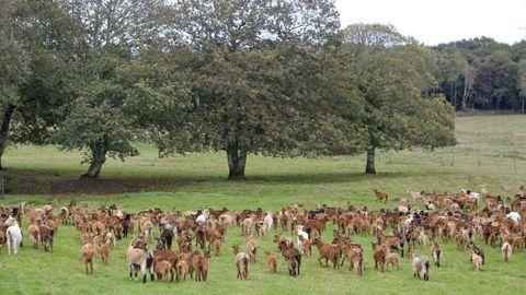 Rebaño de cabras de una explotación del municipio de Guntín