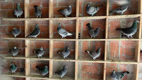 Las palomas mensajeras viven hasta 12 años