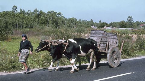 Carro tirado por vacas en Forcadela, Tomiño (Pontevedra, 1980)