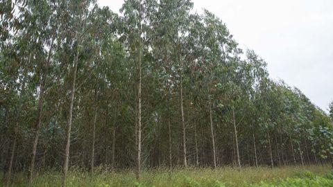 Imagen de archivo de unos eucaliptos