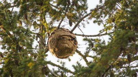 Así es un nido de velutina