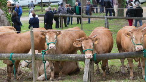 A la feria anual de ganado vacuno de Láncara suelen acudir centenares de reses