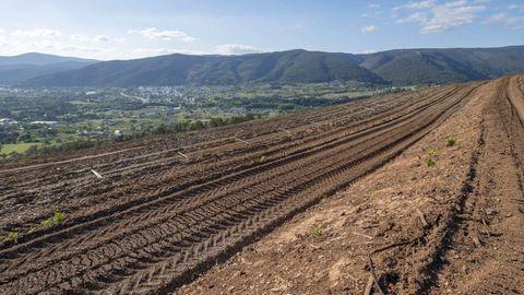Imagen de una nueva plantación de viñedo tomada en la zona de Quiroga durante esta primavera