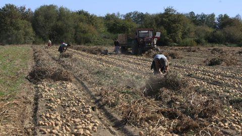 La patata sigue siendo un cultivo muy presente en muchas zonas de Galicia
