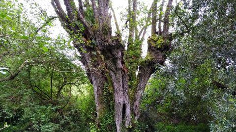 El aliso más grande de Galicia, en el río Loira, Marín