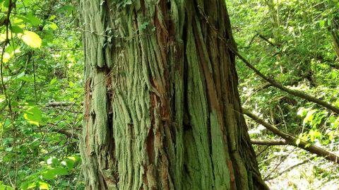El eucalipto robusto más alto de Europa y uno de los mayores del mundo crece en Marín